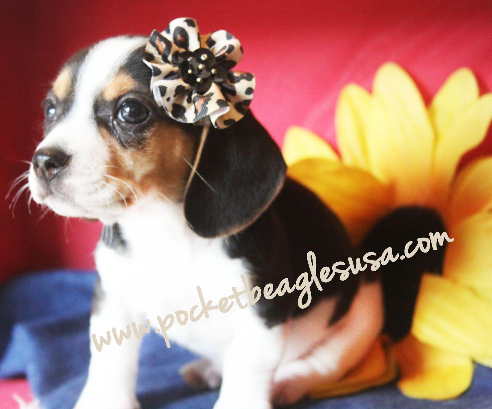 Www Pocketbeaglesusa Com Small Pocket Size Beagles Tiny Beagles