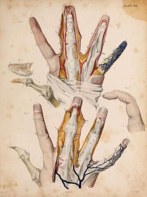 The Fingers\' From \'Illustrations of surgical anatomy, with ...