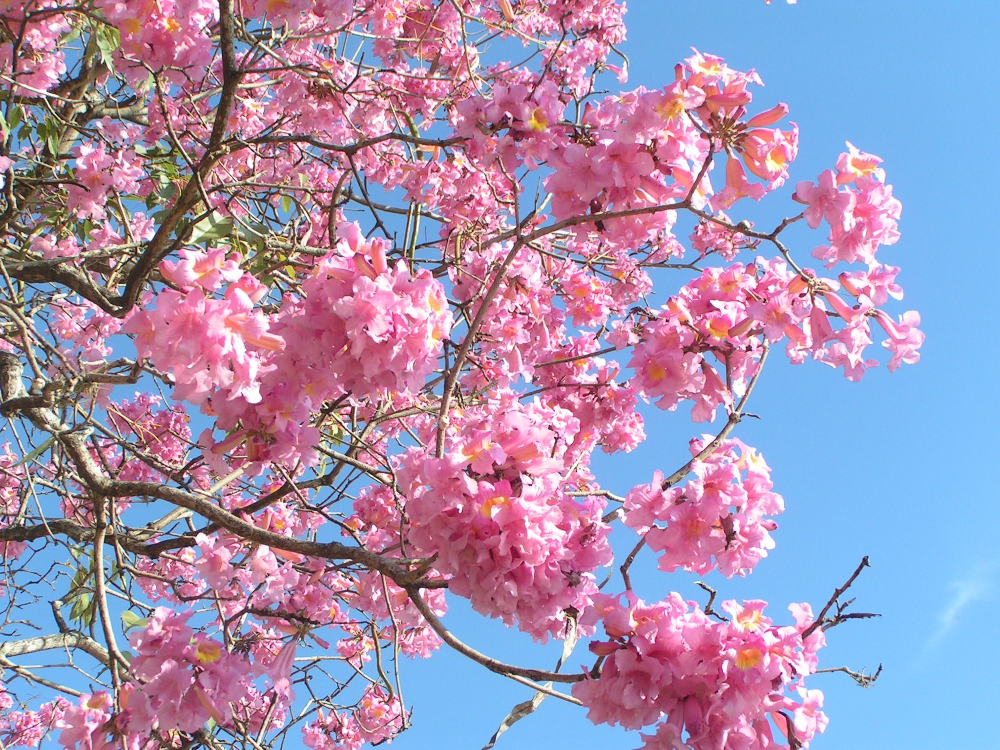 Pink Trumpet Tree For The Front Yard Flowering Trees Flowering Plants In India Trees To Plant