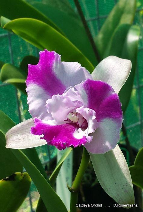Beautiful Cattleya Orchid Orchideen Blumen Pflanzen