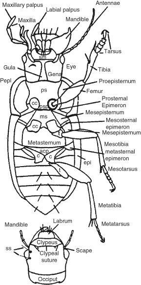 beetle anatomy diagram - Google Search   Homeschool Science ...