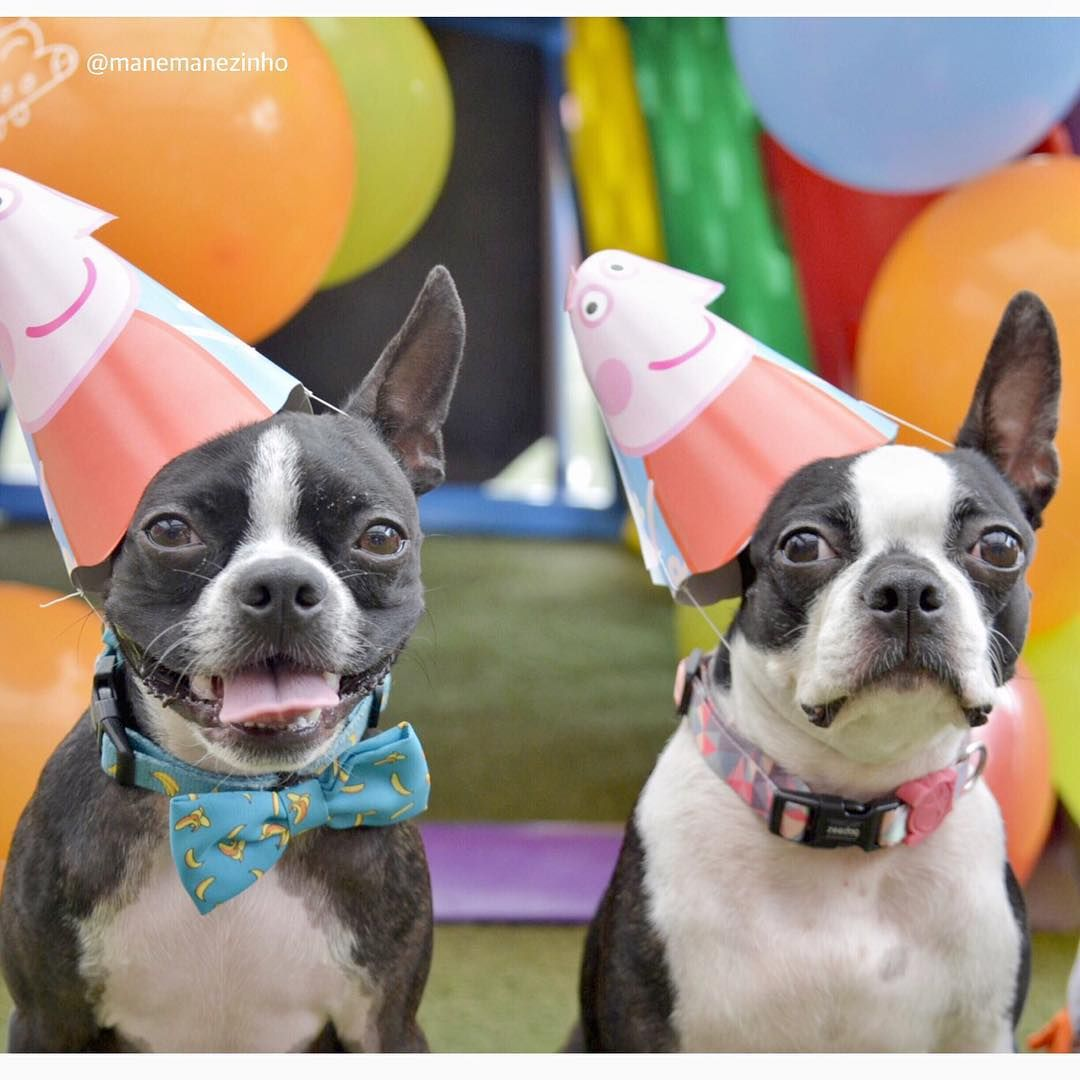 Instagram Boston Terrier Dog Boston Terrier Happy Birthday Mommy