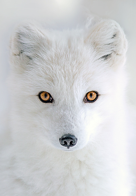 Arctic Eyes By Hisham Atallah Fabulous Foxes Pinte