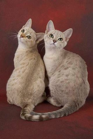 Rare Cat Breeds Australian Mist Cat Gatos Raros Gatos Bonitos