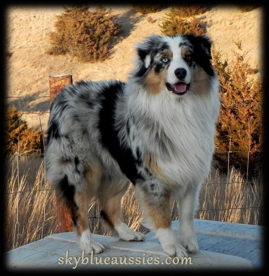 Pin On Australian Shepherds
