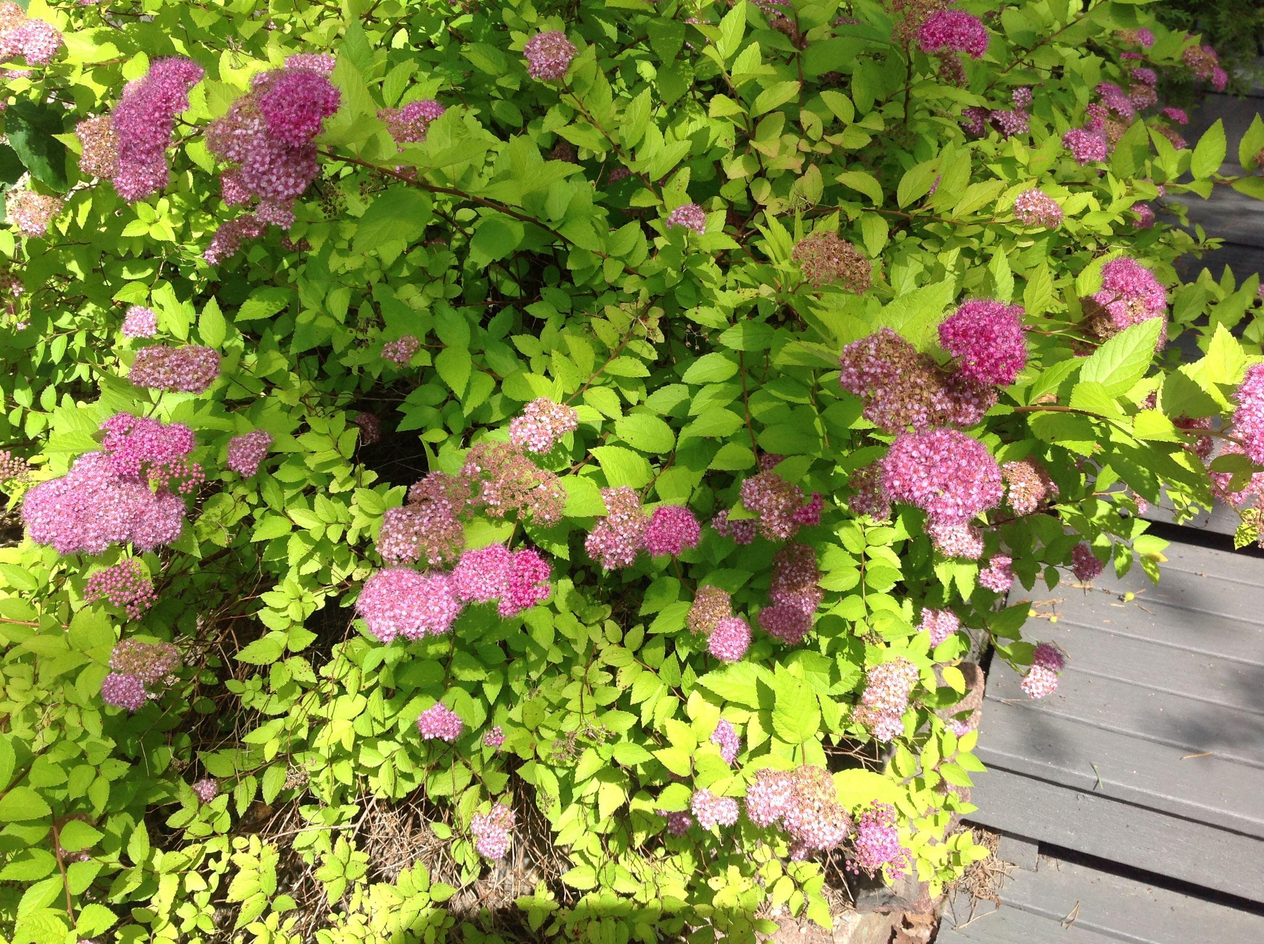 Tiarella cordifolia a way to garden - Kulta Angervo Jonka Kukat Ovat Punaisemmat Ja Lehdet Keltaisemmat Olisko Meill T T