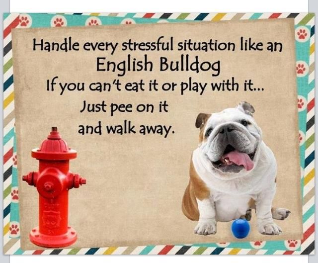 Handle Every Stressful Situation Like An English Bulldog If