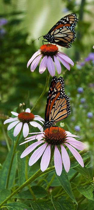 Two Monarch Butterflies Savor The Taste Of Purple Coneflowers