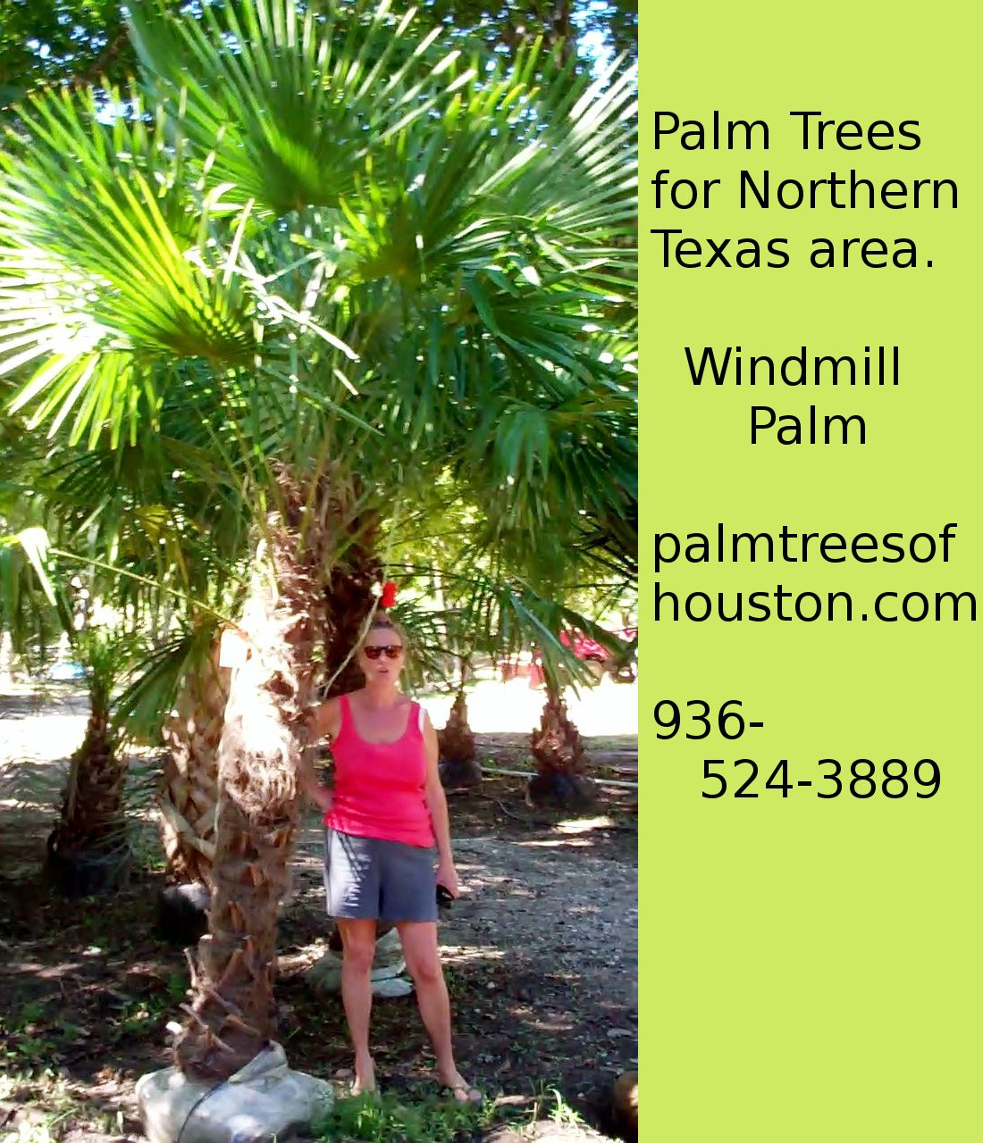 Windmill Palms Have Been Rated Down To Five Degrees Will Usually Do Well In Abilene And Midland Texas Palm Trees