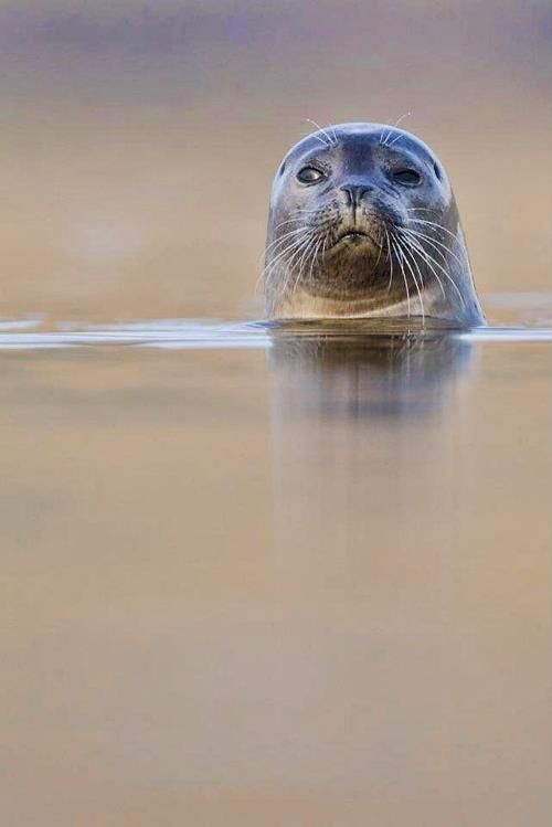 Great picture of a common seal. Photo by Tim Stenton.