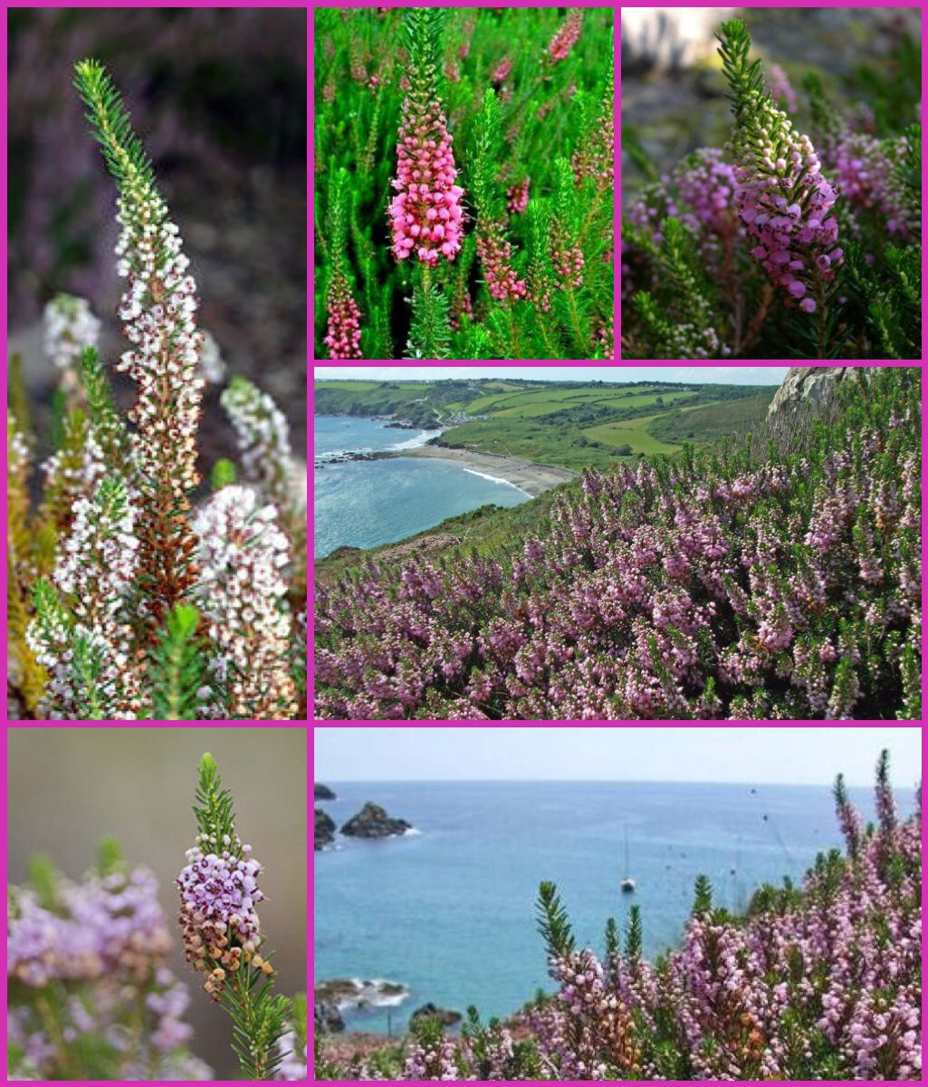 Joseph Of Arimathea Erica Vagans Cornish Heath Wandering Heath Is Often Considered The Cornish Nationa Joseph Of Arimathea Planting Flowers Heather Plant