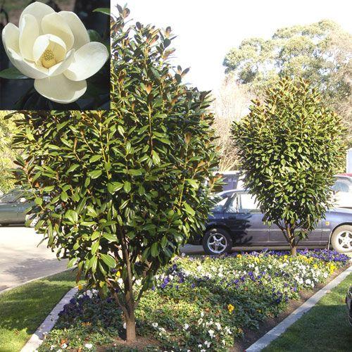 Magnolia Grandiflora Greenback Garden Project Garden Coastal