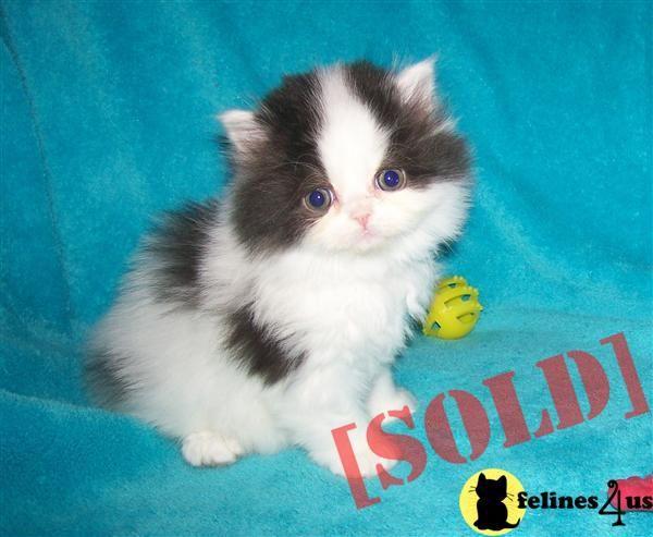 Teacup Kitten Breeders In Massachusetts Kittens Which Also