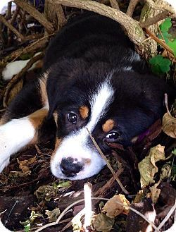 Bernese Mountain Dog Puppy Portrait By Waldek Dabrowski Dog Names Bernese Mountain Dog Names Mountain Dogs