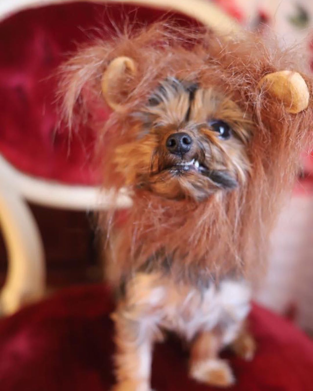 Miniature Yorkshire Terrier Yorkie Costumes For Halloween Yorkie Miniature Yorkshire Terrier Yorkie Dogs