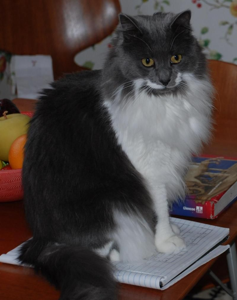 Adopt Courtesy Post Sophie On Grey And White Cat
