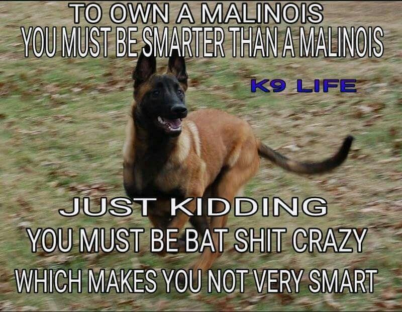 8127f13f1e63207d2057ea6c443e70cf haha i must be fur babies pinterest belgian malinois, dog