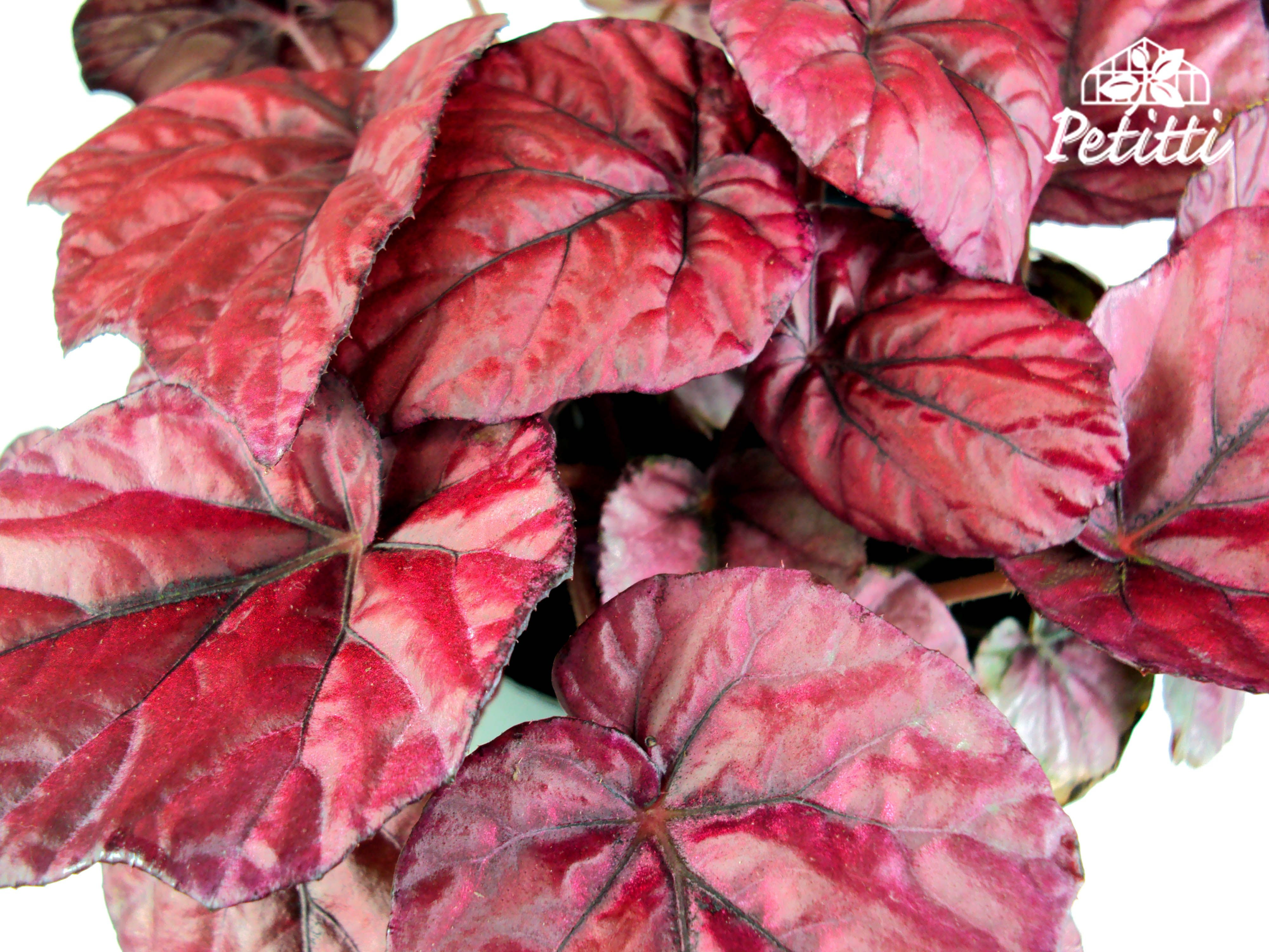 Begonia Rex Lava Red Begonia Garden Projects Houseplants