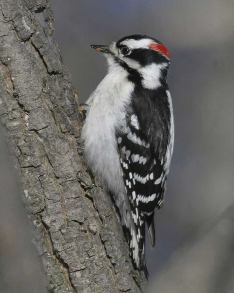 Downy Woodpecker I Ve Seen These In Our Backyard Trees