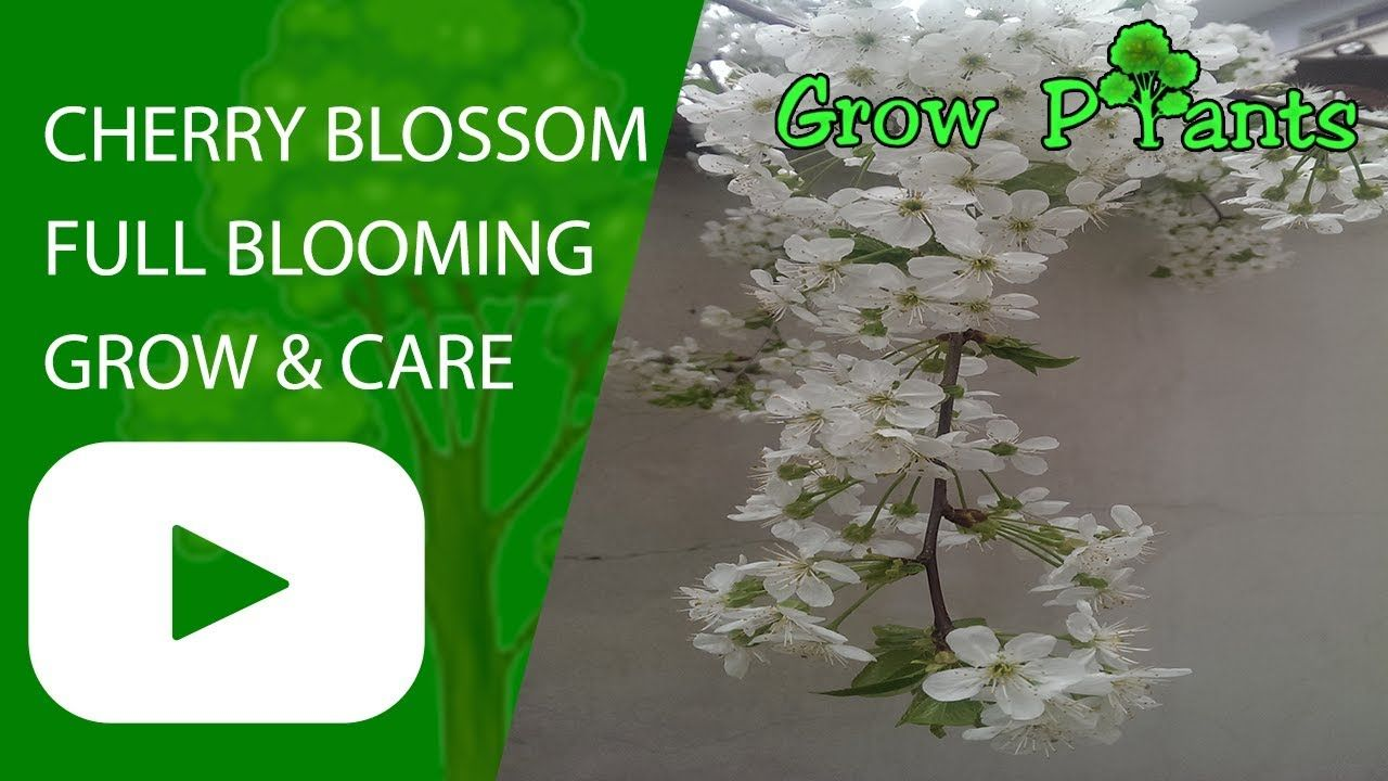 Cherry Blossom Tree Full Blooming Grow And Care Plant Information Climate Hardiness Zone Uses Growth Cherry Blossom Tree Blossom Trees Cherry Blossom