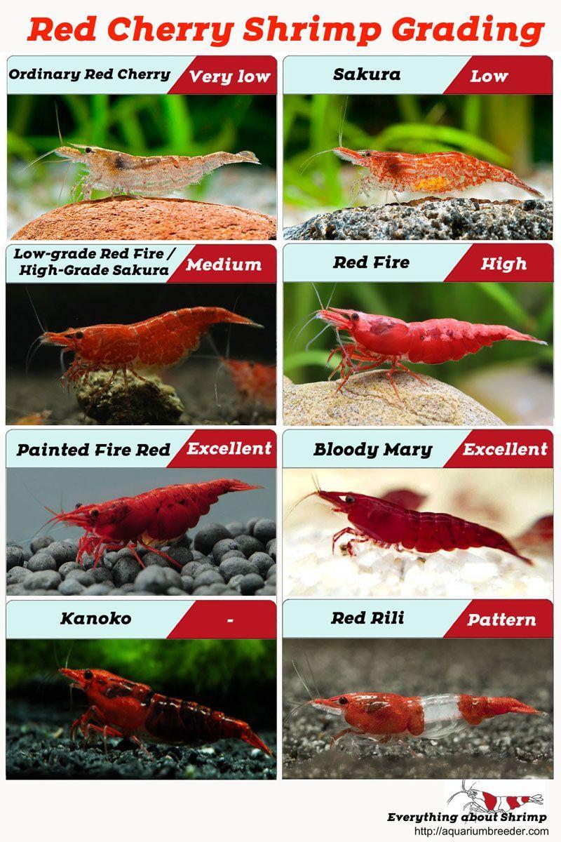Red Cherry Shrimp Grading Cherry Grading Red Shrimp 2020 Akvaryum Baligi Akvaryumlar Okyanus Yasami