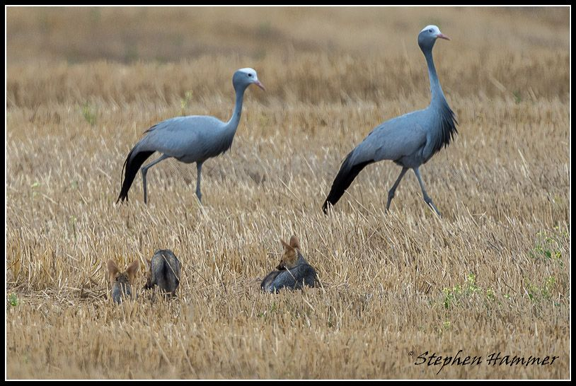 Blue cranes and Cape Foxes in the Overberg, Western Cape