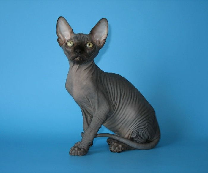 Canadian Sphynx Cattery SOLYARIS  Canadian Sphynx kittens