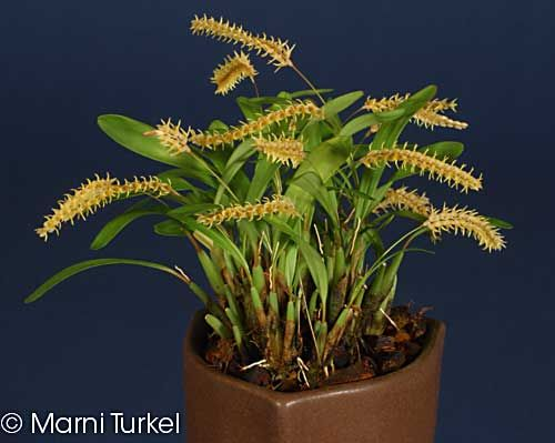 Dendrochilum Species Yellow Mini Anggrek