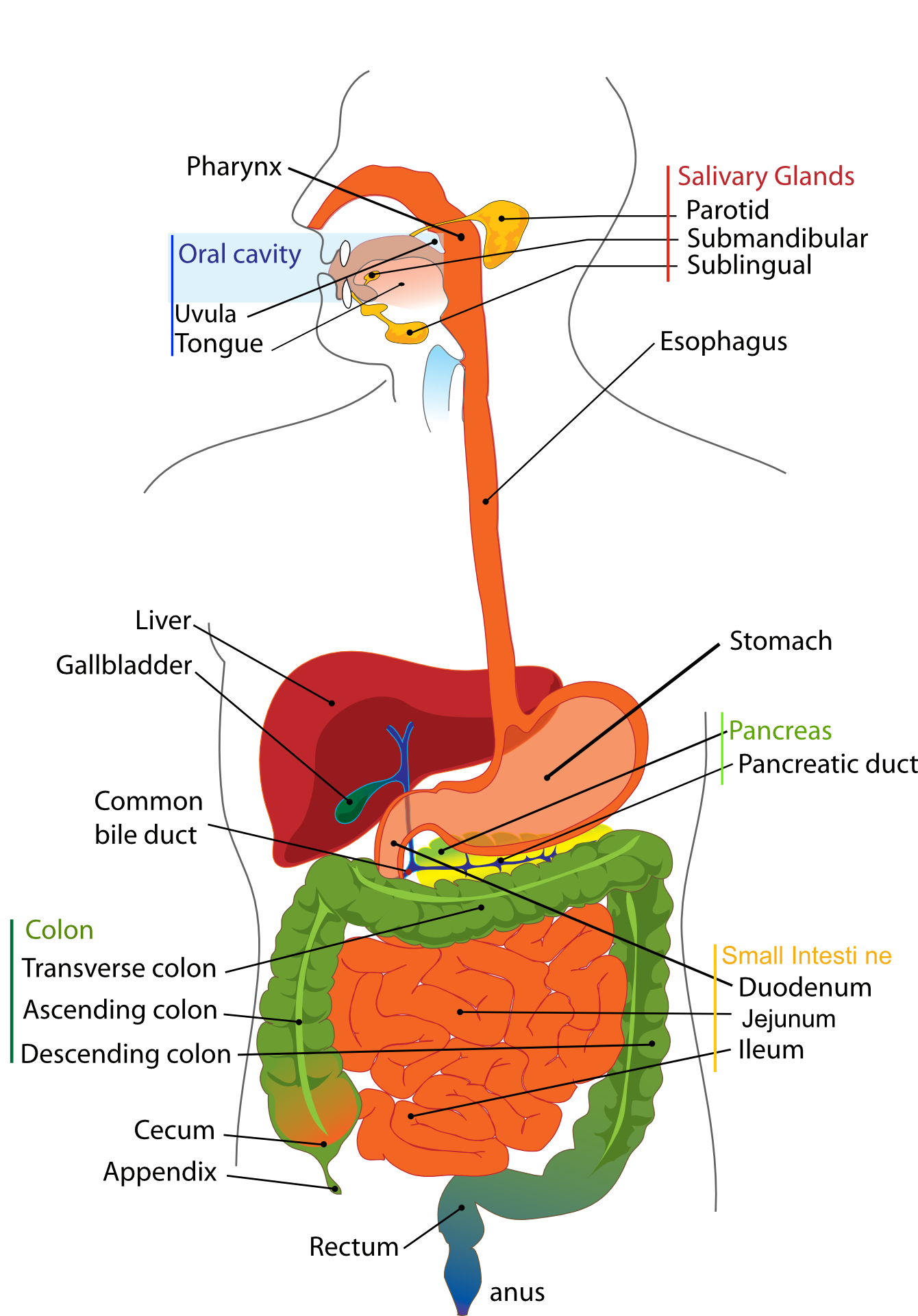 Lunch Ideas For Leaky Gut Digestive Chicken Anatomy System ...