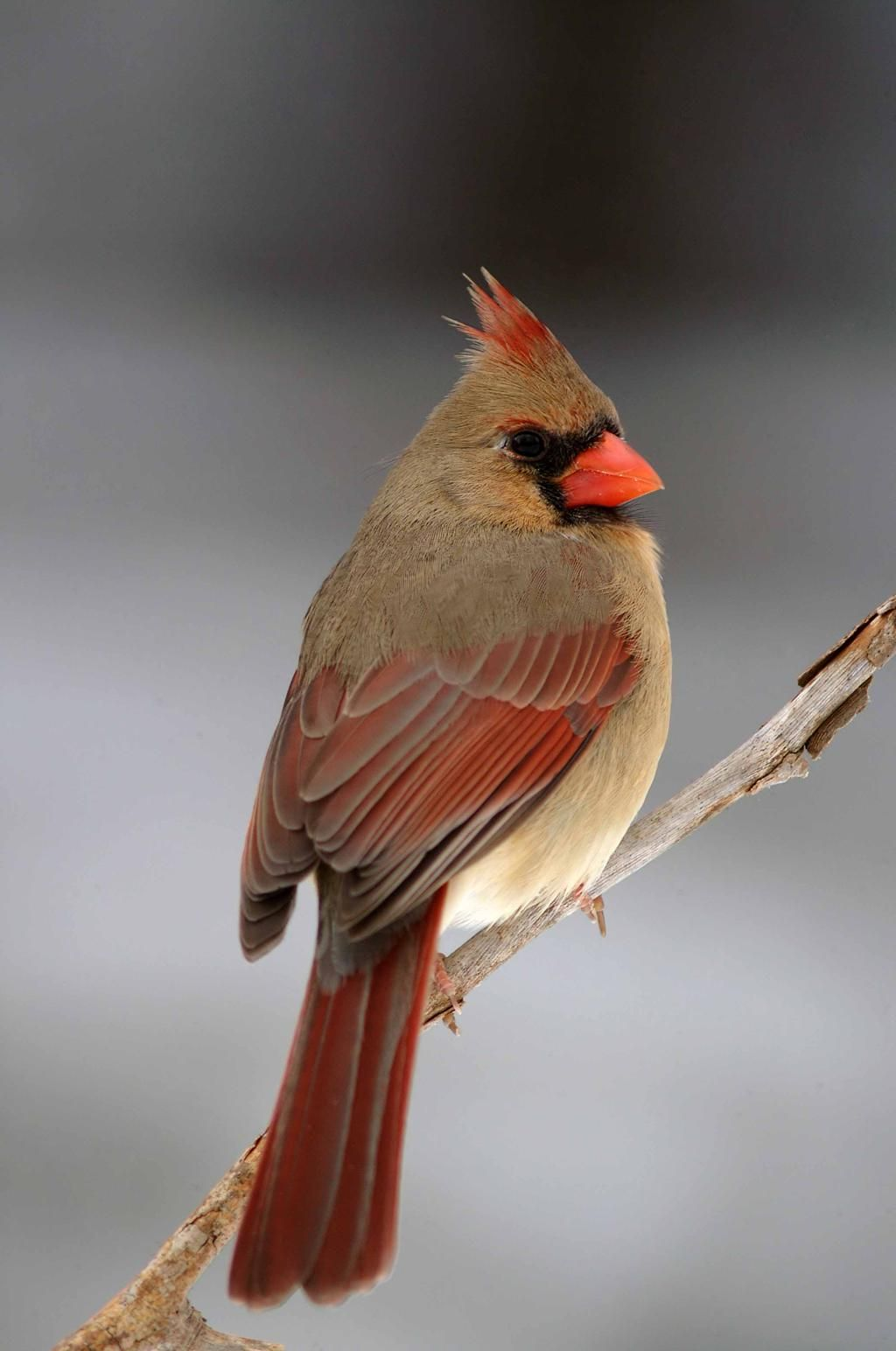 Ontario Nature On Cardinal Birds Birds Beautiful Birds