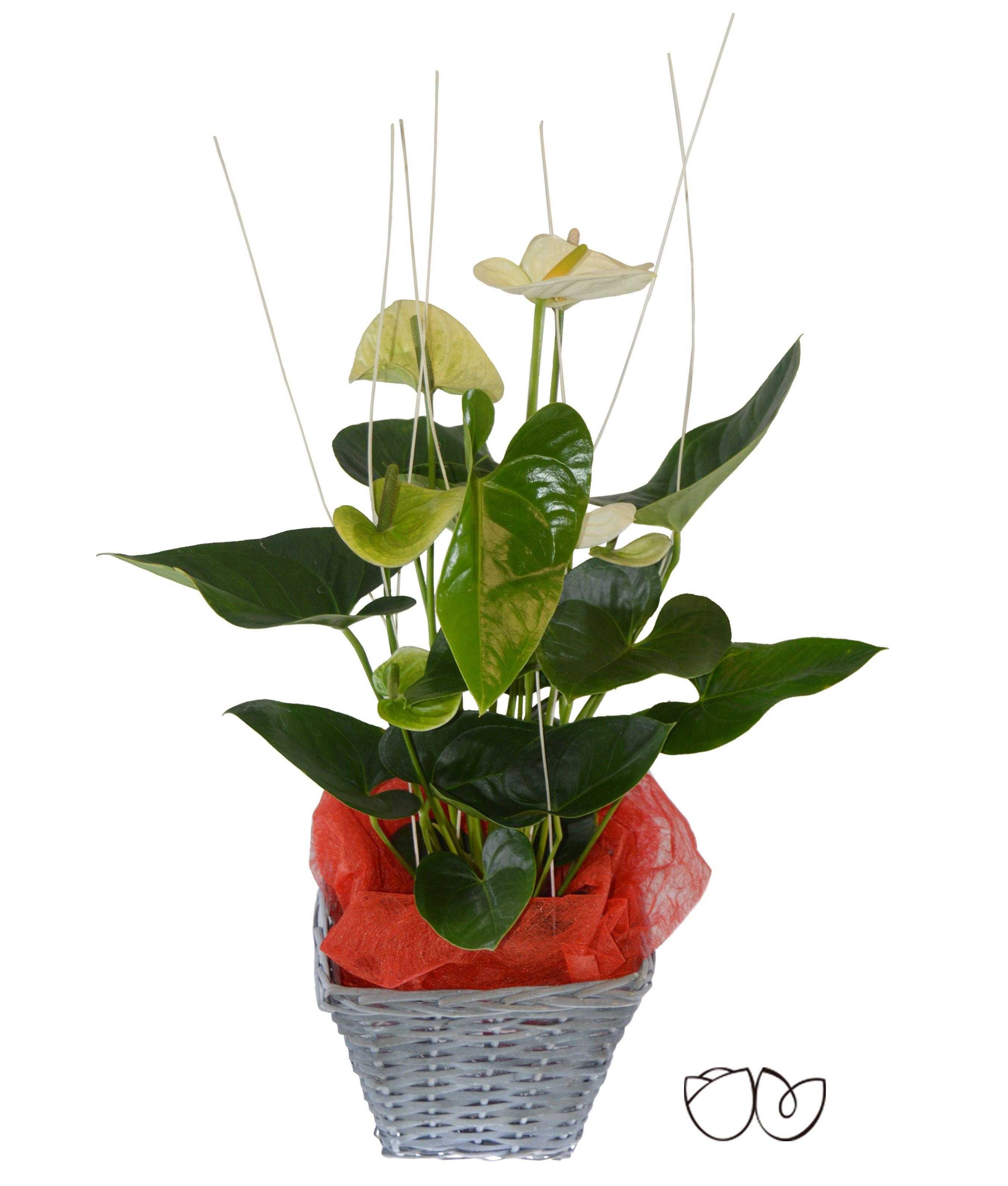 Planta anthurium con esta bonita planta decorativa de for Plantas decorativas hidroponicas