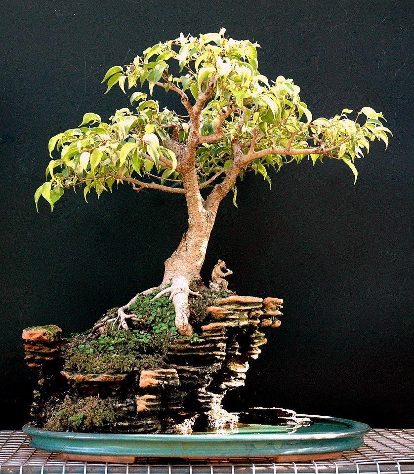 Bonsai Tree On Rock
