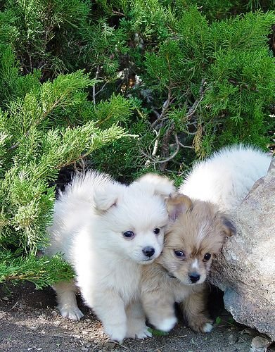 A Pair Of Half Pomeranian Half Poodle Puppies At My Brother S