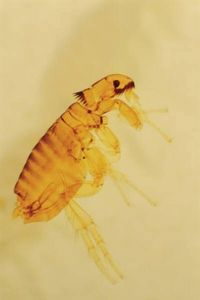 How To Kill Fleas With Pine Sol Diy Kill Fleas On Dogs