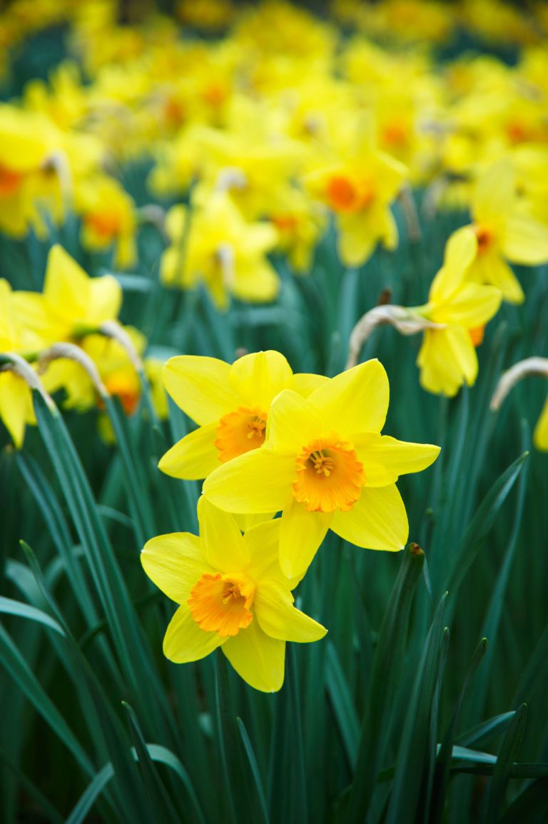 14 Facts Every Daffodil Lover Needs To Know Daffodils Spring Flowers Yellow Flowers