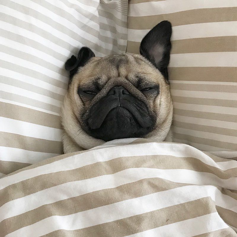 Pugs Pugs Instagram Photos And Videos Pugs Funny Pugs Pug Dog