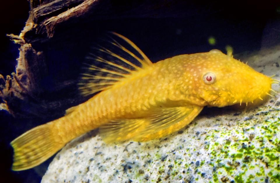 Albino Bristlenose Pleco 9 Months Old Male Eureka Live Aquarium Fish Aquarium Fish Fish