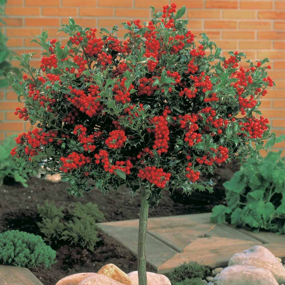 Image result for holly tree