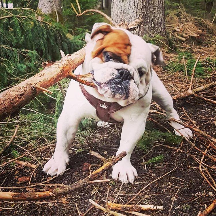 Bulldog Dogs In 2020 Dog Breeds Bulldog Dog Bulldog