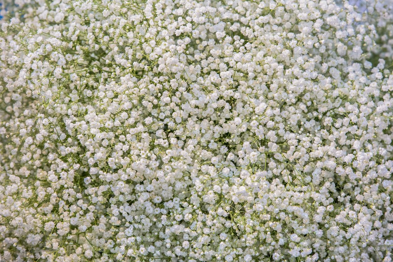 Baby S Breath Propagation Learn About Propagating Baby S Breath Plants Baby S Breath Plant Plants Propagating Plants