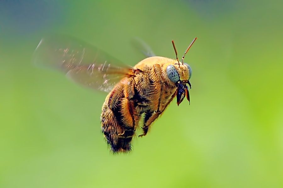 Valley Carpenter Bee (Xylocopa varipuncta) by Andri Priyadi on 500px