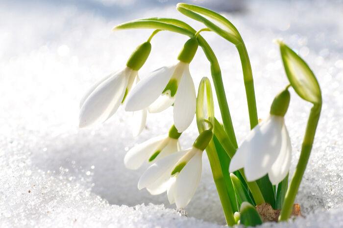 Snowdrop Flower Meaning Flower Meaning In 2020 Winter Flowers Flower Garden White Plants