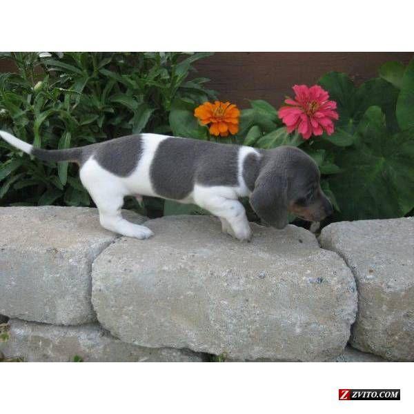 Dachshund Friendly And Curious Dachshund Love