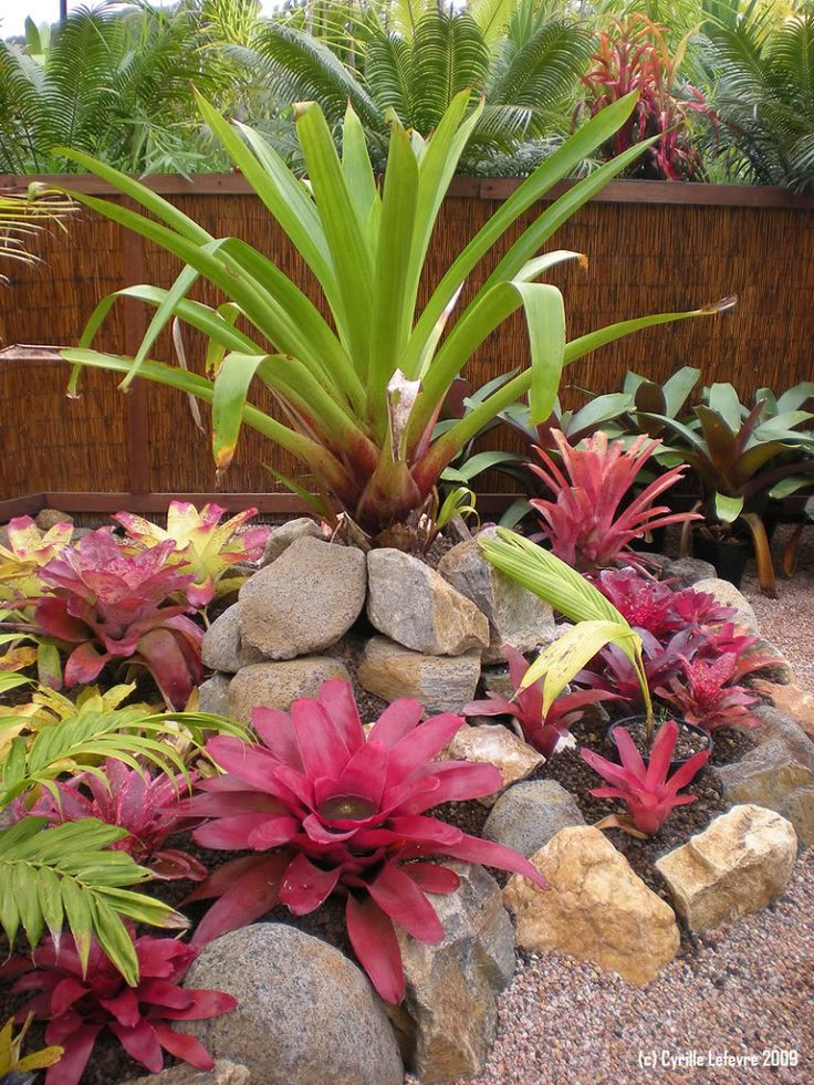 Bromeliad Planting With Pops Of Color Rock Garden Landscaping Plants Tropical Landscaping