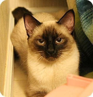 Plainfield, CT Siamese. Meet Zeke, a cat for adoption
