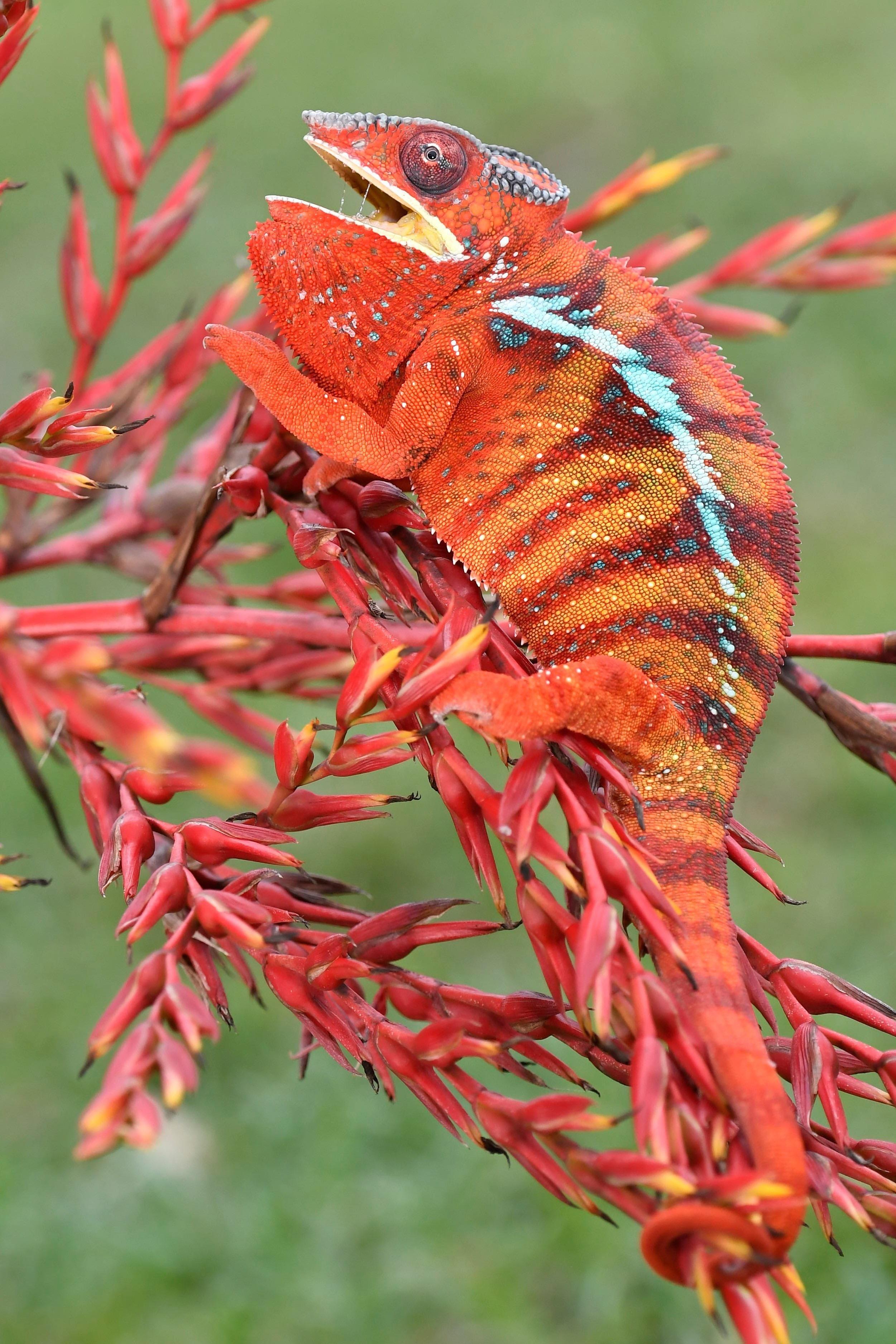 Chameleons communicate through biotremors they rapidly