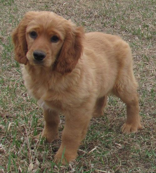 Golden Cocker Retriever Golden Cocker Retriever Designer Dogs