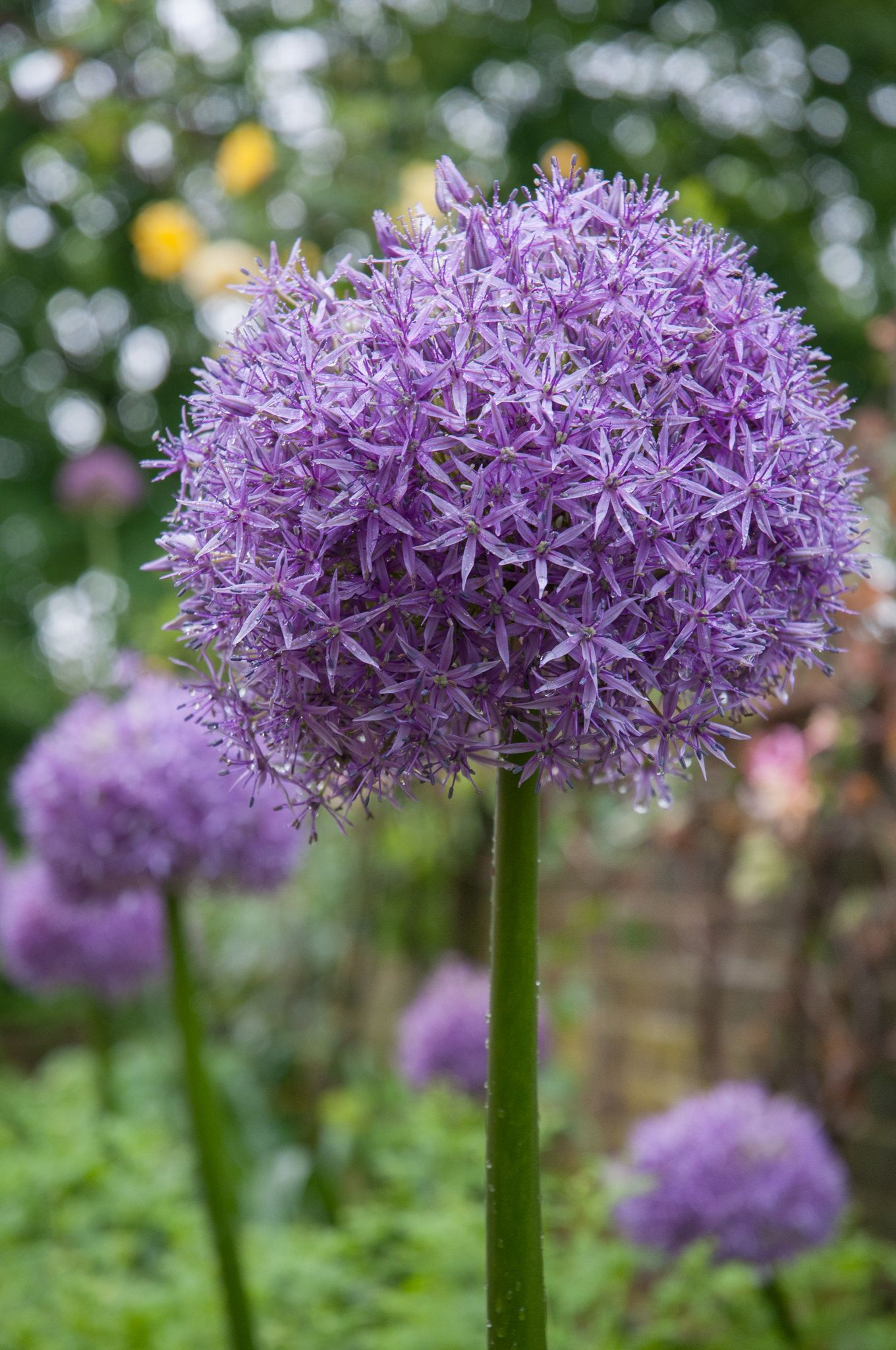 Allium Bulbs Allium Bulb Flowers