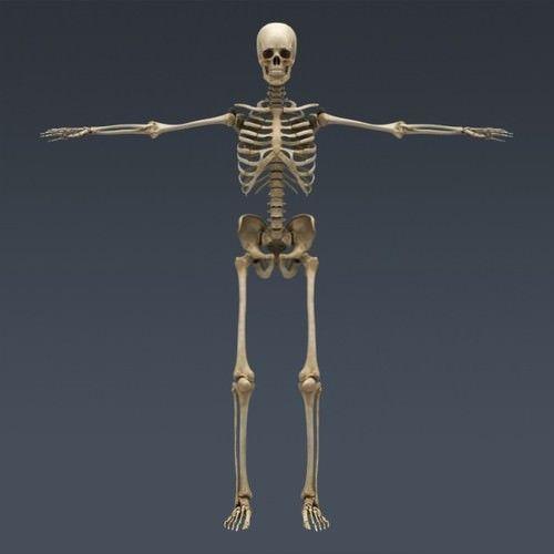 human male anatomy - body skeleton and internal organs 3d model max ...