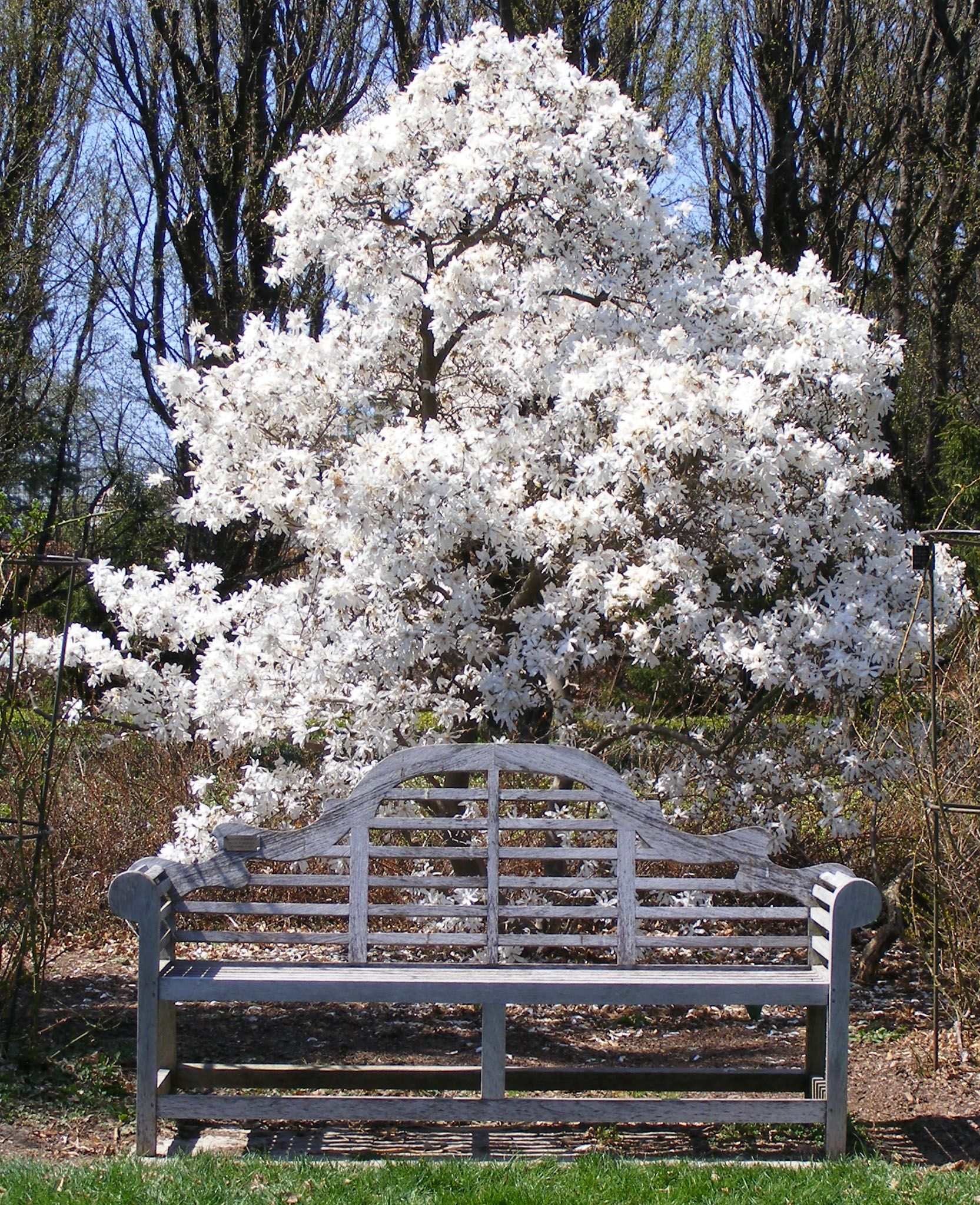 Star Magnolia~ spring blooming trees